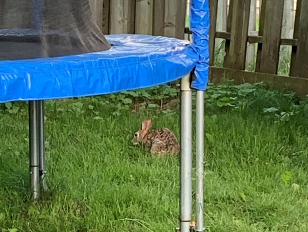 What to do when you find a Backyard Bunny Nest